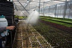 Εγκαταστάσεις σποράς ποτίσματος εργαζομένων κηπουρών στο σύγχρονο υδροπονικό θερμοκήπιο με τον ψεκαστήρα, βιομηχανική ανάπτυξη σπ στοκ εικόνες με δικαίωμα ελεύθερης χρήσης