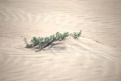 Εγκαταστάσεις στις άμμους ερήμων Στοκ Φωτογραφία