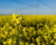 Εγκαταστάσεις συναπόσπορων ΓΤΟ σε έναν τεράστιο τομέα για την παραγωγή του biodiesel, κινηματογράφηση σε πρώτο πλάνο Στοκ Εικόνα
