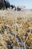 Εγκαταστάσεις της οικογένειας Apiaceae στον παγετό Στοκ φωτογραφία με δικαίωμα ελεύθερης χρήσης