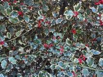 εγκαταστάσεις της Holly Χριστουγέννων Στοκ Φωτογραφίες