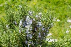 Εγκαταστάσεις της Rosemary με τα λουλούδια στο λιβάδι Στοκ Εικόνες
