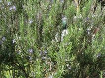 Εγκαταστάσεις της Rosemary με τα λουλούδια Ιταλία Τοσκάνη Στοκ εικόνες με δικαίωμα ελεύθερης χρήσης