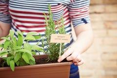 Εγκαταστάσεις της Rosemary στον αστικό κήπο στοκ εικόνες με δικαίωμα ελεύθερης χρήσης