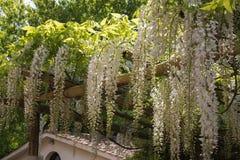 Εγκαταστάσεις του άσπρου wisteria στον κήπο Στοκ Εικόνες