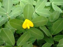 Εγκαταστάσεις του γένους Arachis με χλωμό στο λεμόνι - κίτρινο λουλούδι μπιζέλι-τύπων Στοκ Φωτογραφία