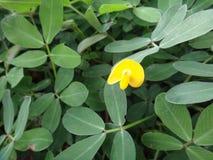Εγκαταστάσεις του γένους Arachis με χλωμό στο λεμόνι - κίτρινο λουλούδι μπιζέλι-τύπων Στοκ Φωτογραφίες