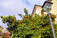 Εγκαταστάσεις του πορτοκαλιού Στοκ Εικόνα