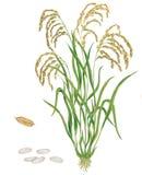 Εγκαταστάσεις του ρυζιού Oryza sativa διανυσματική απεικόνιση