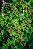 Εγκαταστάσεις του Blackberry Στοκ Φωτογραφίες