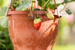 Εγκαταστάσεις φραουλών στα δοχεία που κρεμούν σε έναν βοτανικό κήπο στοκ εικόνα με δικαίωμα ελεύθερης χρήσης