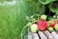 Εγκαταστάσεις φραουλών με τις ώριμες και unripe φράουλες Στοκ Εικόνες