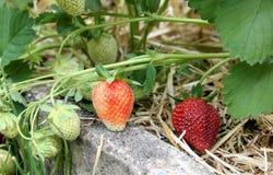 Εγκαταστάσεις φραουλών με τις ώριμες και unripe φράουλες Στοκ φωτογραφία με δικαίωμα ελεύθερης χρήσης