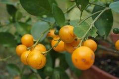 Εγκαταστάσεις φρούτων πορτοκαλιών Στοκ φωτογραφίες με δικαίωμα ελεύθερης χρήσης