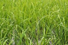 Εγκαταστάσεις χλόης νερού τομέων ρυζιού Στοκ Εικόνες