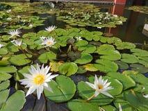 Εγκαταστάσεις ‹water†‹lily†‹blossom†‹tropical†‹flower†‹Beautiful†‹lotus†στοκ φωτογραφία με δικαίωμα ελεύθερης χρήσης