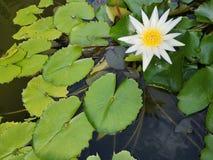 Εγκαταστάσεις ‹water†‹lily†‹blossom†‹tropical†‹flower†‹Beautiful†‹lotus†στοκ εικόνα