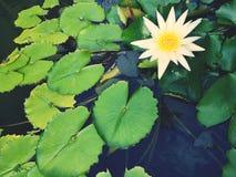 Εγκαταστάσεις ‹water†‹lily†‹blossom†‹tropical†‹flower†‹Beautiful†‹lotus†στοκ φωτογραφίες