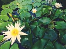 Εγκαταστάσεις ‹water†‹lily†‹blossom†‹tropical†‹flower†‹Beautiful†‹lotus†στοκ φωτογραφίες με δικαίωμα ελεύθερης χρήσης
