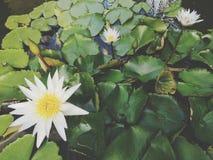 Εγκαταστάσεις ‹water†‹lily†‹blossom†‹tropical†‹flower†‹Beautiful†‹lotus†στοκ εικόνα με δικαίωμα ελεύθερης χρήσης