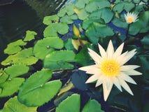 Εγκαταστάσεις ‹water†‹lily†‹blossom†‹tropical†‹flower†‹Beautiful†‹lotus†στοκ εικόνες