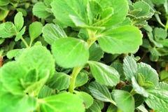 Εγκαταστάσεις Amboinicus Plectranthus στον κήπο στοκ φωτογραφία με δικαίωμα ελεύθερης χρήσης