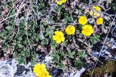 Εγκαταστάσεις Anemone ranunculoides Στοκ Εικόνες