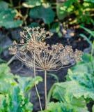 Εγκαταστάσεις Anethum άνηθου graveolens με τους σπόρους, οικογένεια Apiaceae Στοκ Εικόνα