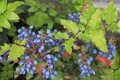Εγκαταστάσεις aquifolium Mahonia στην οικογένεια Berberidaceae Στοκ εικόνες με δικαίωμα ελεύθερης χρήσης