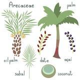 Εγκαταστάσεις Arecaceae καθορισμένες Στοκ εικόνα με δικαίωμα ελεύθερης χρήσης