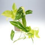 Εγκαταστάσεις aureum Epipremnum (οικογένεια Araceae) στο δοχείο Στοκ Εικόνα