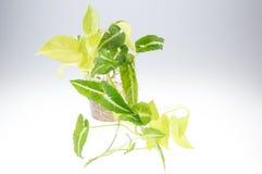 Εγκαταστάσεις aureum Epipremnum (οικογένεια Araceae) στο δοχείο Στοκ φωτογραφία με δικαίωμα ελεύθερης χρήσης