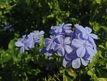 Εγκαταστάσεις Auriculate Plumbago (μπλε Plumbago ή ακρωτήριο Leadwort) που ανθίζουν στον κήπο Στοκ φωτογραφίες με δικαίωμα ελεύθερης χρήσης