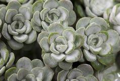 Εγκαταστάσεις «Blanco ακρωτηρίων» spathulifolium Sedum Στοκ Εικόνες