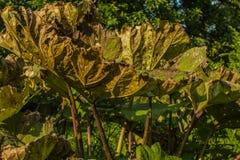 Εγκαταστάσεις Colocasia το Araceae familyin το φθινόπωρο Στοκ φωτογραφία με δικαίωμα ελεύθερης χρήσης