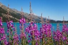 Εγκαταστάσεις Fireweed και λουλούδια, angustifolium Epilobium Στοκ Εικόνες