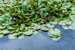 Εγκαταστάσεις Lotus στην άνθιση Στοκ εικόνα με δικαίωμα ελεύθερης χρήσης