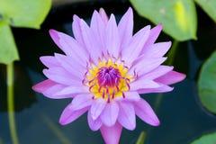 Εγκαταστάσεις Lotus στο νερό Στοκ φωτογραφίες με δικαίωμα ελεύθερης χρήσης