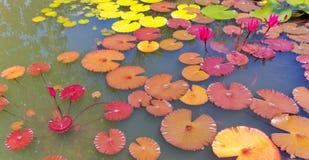 Εγκαταστάσεις Lotus Στοκ Φωτογραφία