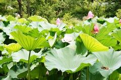 Εγκαταστάσεις Lotus Στοκ εικόνες με δικαίωμα ελεύθερης χρήσης