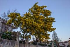 Εγκαταστάσεις Mimosa στον κήπο Στοκ εικόνα με δικαίωμα ελεύθερης χρήσης