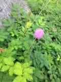 Εγκαταστάσεις Nuttallii Mimosa που ανθίζουν στον κήπο στοκ φωτογραφία με δικαίωμα ελεύθερης χρήσης