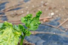 Εγκαταστάσεις Okura χαλασμένες από τα aphids Στοκ φωτογραφίες με δικαίωμα ελεύθερης χρήσης