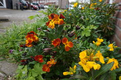 Εγκαταστάσεις Pansy στον κήπο οδών Στοκ εικόνα με δικαίωμα ελεύθερης χρήσης