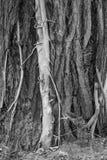 Εγκαταστάσεις Parasited στο μεγάλο δέντρο Στοκ Εικόνες