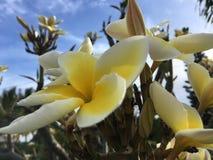 Εγκαταστάσεις Plumeria που ανθίζουν με τα άσπρα και κίτρινα λουλούδια στο νεκροταφείο σε Kekaha Kauai στο νησί, Χαβάη Στοκ Εικόνα