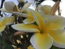 Εγκαταστάσεις Plumeria που ανθίζουν με τα άσπρα και κίτρινα λουλούδια στο νεκροταφείο σε Kekaha Kauai στο νησί, Χαβάη Στοκ φωτογραφία με δικαίωμα ελεύθερης χρήσης