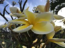 Εγκαταστάσεις Plumeria που ανθίζουν με τα άσπρα και κίτρινα λουλούδια στο νεκροταφείο σε Kekaha Kauai στο νησί, Χαβάη Στοκ φωτογραφίες με δικαίωμα ελεύθερης χρήσης