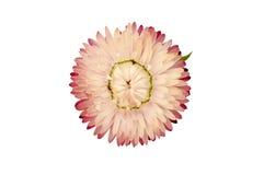 Εγκαταστάσεις Strawflower (Xerochrysum Bracteatum) που απομονώνονται από την ΤΣΕ Στοκ Φωτογραφία