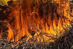 Εγκαύματα μιας μεγάλα κόκκινα πυρκαγιάς σε έναν κλάδο Στοκ εικόνα με δικαίωμα ελεύθερης χρήσης